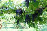 grape-bower