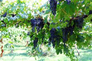 grape-bower